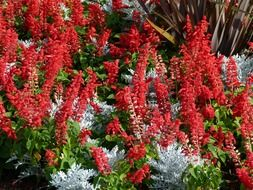 red celosia flower