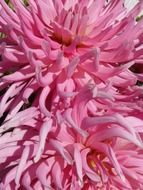 pink dahlias closeup
