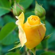 yellow rose romance