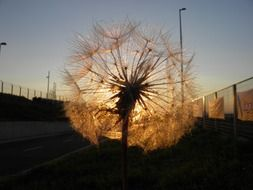 dandelion with seeds against the sunset sky