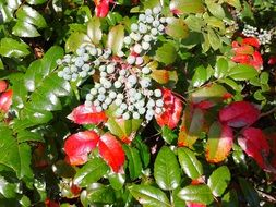 garden bush with berries