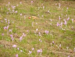 colchicum autumnale flowers on autumn meadow