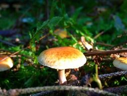 forest mushroom in the meadow