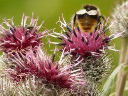 Pollination of flowers of burdock