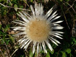 top view on a flower silver thistle