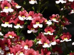 blooming red-white Nemesia