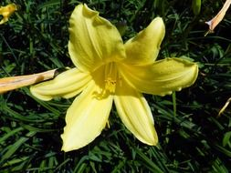 delicate yellow lily flower
