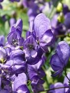 blue monkshood closeup