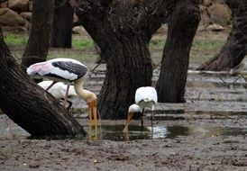 Painted storks in the water