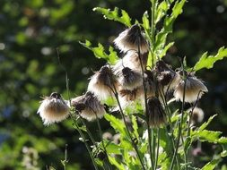 fluffy thistle seeds