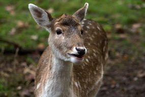 fallow deer in the forest close-up