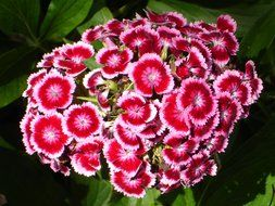 sweet william is turkish carnation