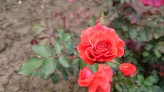 nature of rose flower