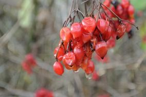 withered red rowan berries