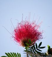 red metrosideros excelsa flower in New Zealand