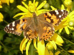 painted lady on a bush with yellow flowers