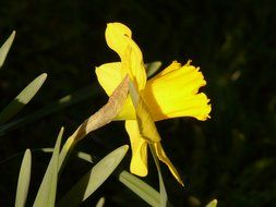Side view of the yellow daffodil on the stalk