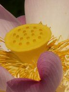 yellow pistil of a lotus flower close-up
