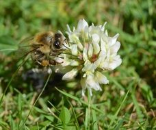 honey bee on a blooming white meadow flower