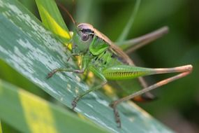 grasshopper on grass closeup