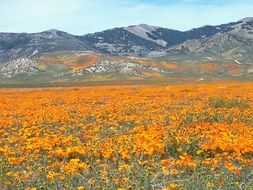 meadow of orange wildflowers