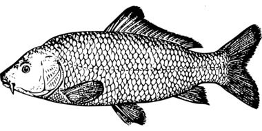 Illustration of carp fish