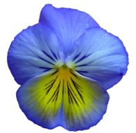 pansy flower flowers summer
