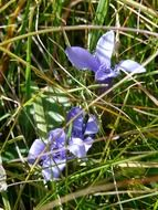 gentian flowers in the grass