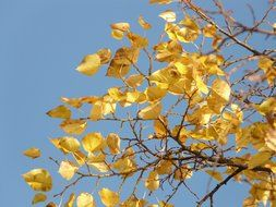 blue sky through the golden leaves