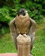 peregrine in nature