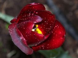 maroon tulip in drops of water close-up