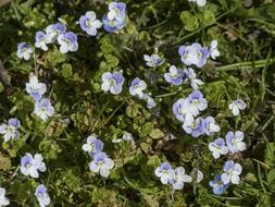 forget me not, blue veronica flowers
