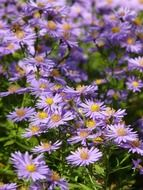 Glade of the blue aster