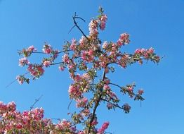blooming branches of apple tree at sky