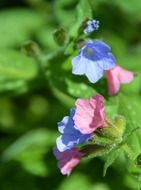 multicolored flowers of pulmonaria