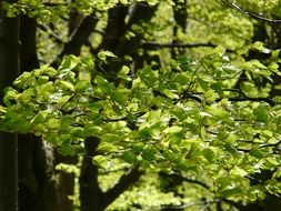 green clusters of beech on a sunny day