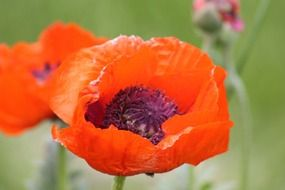 poppy flower orange nature plant