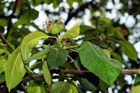 unripe green apple fruits on the tree