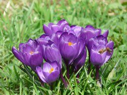 colorful crocus on a green meadow