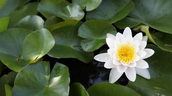tender lotus flower in a pond