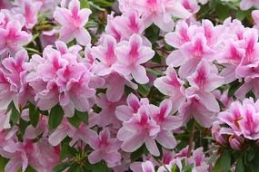 Pink rhododendron flower