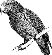 black and white picture of a parrot on a branch