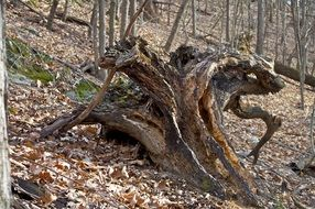old gnarled tree in the forest