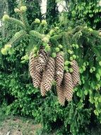 bunches of cones on a branch of a coniferous tree