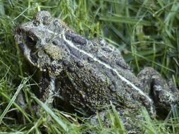 Wild toad in the grass