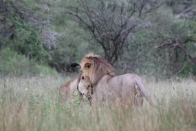 lion and lioness in the national park in Tanzania
