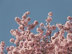 view of the blue sky through the pink cherry blossom