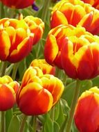 colorful tulips on stems close-up