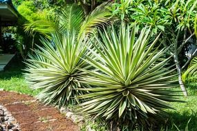 Green agave plant tropical garden