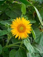 sunflower flower in green leaves